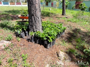 coffee-seedlings-by-tree-casa-hogar