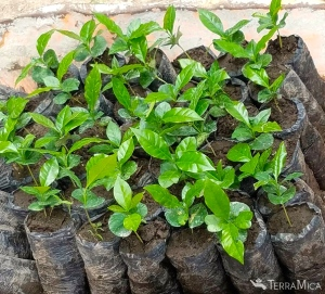 group-of-coffee-seedlings