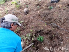 volunteer-planting-coffee-trees-casa-hogar-jun-2016-stevedixon